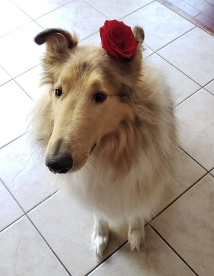 Cute dog sitting in Ontario kitchen with rose behind ear